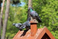 Een paar duiven zitten op een toppositie in de bosaard stock foto