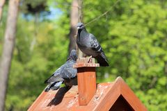 Een paar duiven zitten op een toppositie in de bosaard stock afbeeldingen