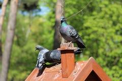 Een paar duiven zitten op een toppositie in de bosaard royalty-vrije stock afbeelding