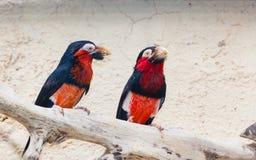 Een paar Gebaarde Barbet vogels Stock Foto