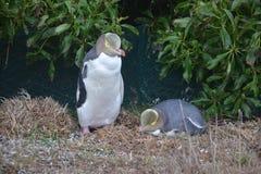 Een paar geel-eyed pinguïnen Stock Afbeeldingen