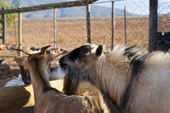 Een paar geiten die aan elkaar spreken stock foto