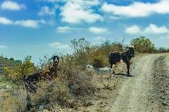 Een paar geiten die op de omringende hellingen weiden kruisen de weg en bekijken de auto van reizigers met verrassing royalty-vrije stock afbeeldingen
