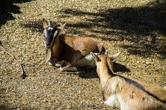 Een paar gezette geiten Stock Afbeelding