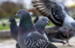 Een paar grijze duiven in een stadspark royalty-vrije stock afbeelding