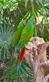 Een paar Grote Groene Ara's Stock Afbeeldingen