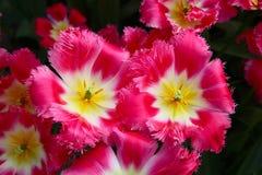 Een paar heldere karmozijnrode tulpen Hoogste mening stock afbeeldingen