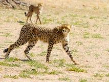 Een paar jachtluipaarden in het Grensoverschrijdende Nationale Park van Kgalagadi tussen Zuid-Afrika, Namibië, en Botswana worden Royalty-vrije Stock Afbeeldingen