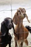 Een paar jonge geiten wil eten Stock Foto's