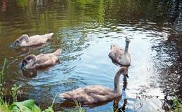 Een paar jonge zwanen die in een meer in Engeland zwemmen royalty-vrije stock foto