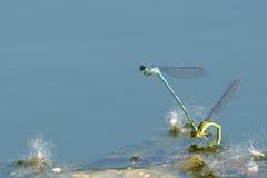 Een paar juffervliegen Stock Afbeelding