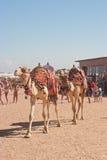 Een paar kamelen Stock Fotografie