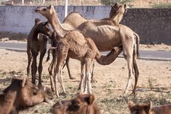 Een paar kamelen in Pushkar, Mela Royalty-vrije Stock Fotografie