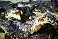 Een paar krokodillen Royalty-vrije Stock Foto's