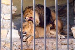 Een paar leeuwen in gevangenschap in een dierentuin achter de tralies Huwelijksperiode voor leeuwen Dierlijk instinct royalty-vrije stock afbeeldingen
