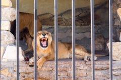 Een paar leeuwen in gevangenschap in een dierentuin achter de tralies Macht en agressie in de kooi royalty-vrije stock afbeelding