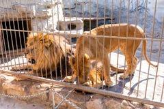 Een paar leeuwen in gevangenschap in een dierentuin achter de tralies Macht en agressie in de kooi royalty-vrije stock foto's