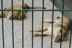 Een paar leeuwen in gevangenschap in een dierentuin achter de tralies slaap stock afbeeldingen