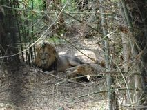 Een paar leeuwslaap bij park Stock Foto's