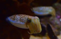 Een paar leuke het rouwen inktvissen die de wapens met tweede op de achtergrond krullen royalty-vrije stock foto's