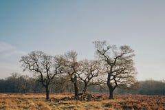 Een paar naakte bomen op een gebied stock foto