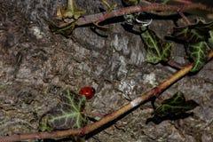 Een paar onzelieveheersbeestjes op een houten omheiningspost in vroeg de lentezonlicht stock afbeeldingen