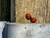 Een paar onzelieveheersbeestjes op een houten omheiningspost in vroeg de lentezonlicht stock fotografie