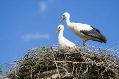 Een paar ooievaars die die in het nest zitten in het park in summe wordt geplaatst stock fotografie