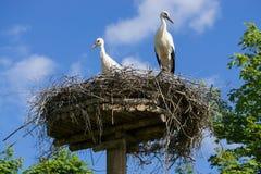 Een paar ooievaars die die in het nest zitten in het park in summe wordt geplaatst stock foto's