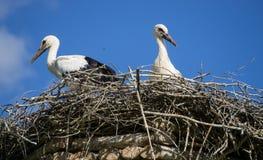 Een paar ooievaars die die in het nest zitten in het park in summe wordt geplaatst royalty-vrije stock fotografie