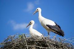 Een paar ooievaars die die in het nest zitten in het park in summe wordt geplaatst royalty-vrije stock afbeeldingen