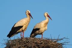 Een paar Ooievaars in het nest Royalty-vrije Stock Foto's