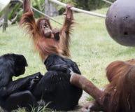 Een Paar Orangoetans staat met een Paar van Siamangs in wisselwerking Stock Foto