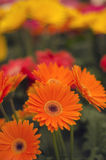 Een paar oranje gerbara ` s Royalty-vrije Stock Foto's