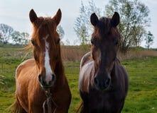 Een paar paarden Royalty-vrije Stock Foto's