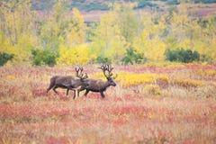 Een paar rendieren in toendra in de herfst stock afbeeldingen