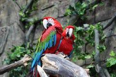 Een paar rode ara's streek in wildernis neer Royalty-vrije Stock Afbeeldingen