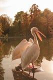 Een paar Rosy Pelicans in Luise Park in Mannheim, Duitsland stock fotografie