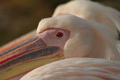 Een paar Rosy Pelicans in Luise Park in Mannheim, Duitsland stock foto