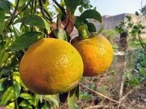 Een paar sinaasappelen royalty-vrije stock foto's