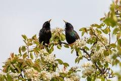 Een paar starlings die op een tak van een tot bloei komende appelboom zingen royalty-vrije stock afbeelding