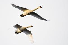 Paar Stodde Zwanen die op Witte Achtergrond vliegen Stock Foto's