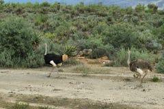 Een paar struisvogels op oudtshoorngebied Royalty-vrije Stock Afbeelding