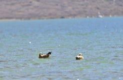 Een paar van blozende shelduck die in de plateaumeren zwemmen Royalty-vrije Stock Fotografie