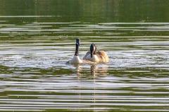 Een paar van canadensis van de ganzenbranta van Canada het koppelen in de lente royalty-vrije stock foto