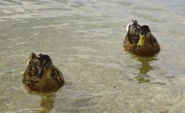 Een paar van eenden het zwemmen Stock Fotografie