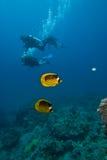 Een paar van Gestreepte butterflyfish met duikers Royalty-vrije Stock Fotografie