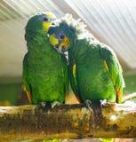 Een paar van grappige groene papegaai n royalty-vrije stock foto