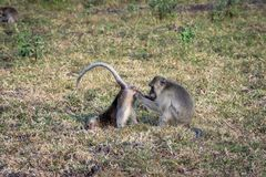 Een paar van grijze aap helpt elkaar op Savanne Bekol, Baluran Is het Baluran Nationale Park een bosbehoudsgebied dat royalty-vrije stock afbeeldingen