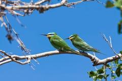 Een paar van groene bij-eters Merops-superciliosus, Oezbekistan Stock Foto